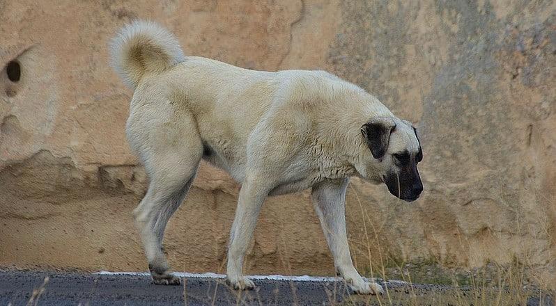 Kangal Hund